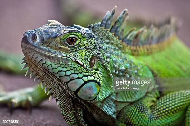 portrait of a iguana lizard, western cape, south africa - iguana - fotografias e filmes do acervo