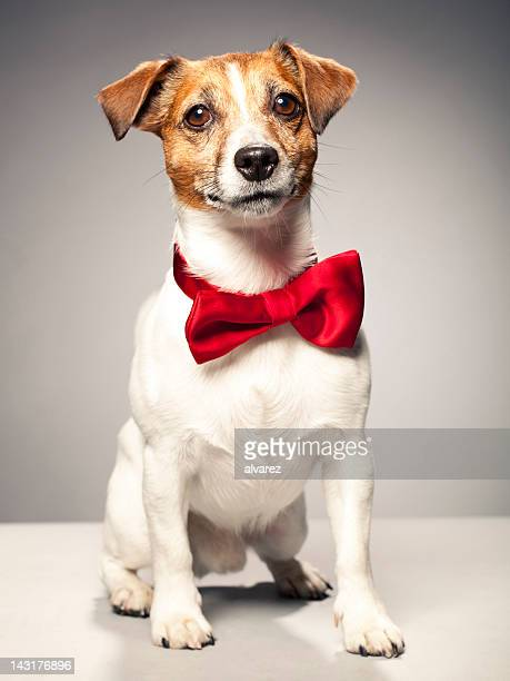 portrait of a jack russel terrier - bow tie stock pictures, royalty-free photos & images