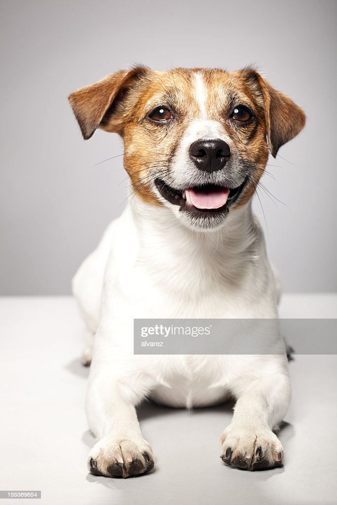 Portrait of a Jack Russel Terrier : Stock Photo