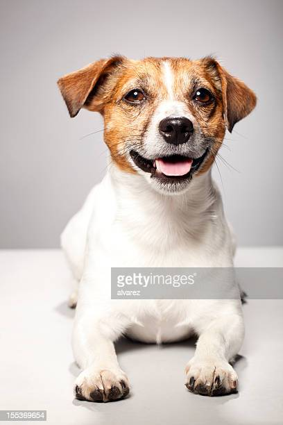 portrait of a jack russel terrier - jack russell terrier stock photos and pictures