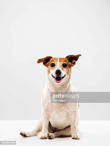 portrait of a jack russell terrier - jack russell terrier photos et images de collection