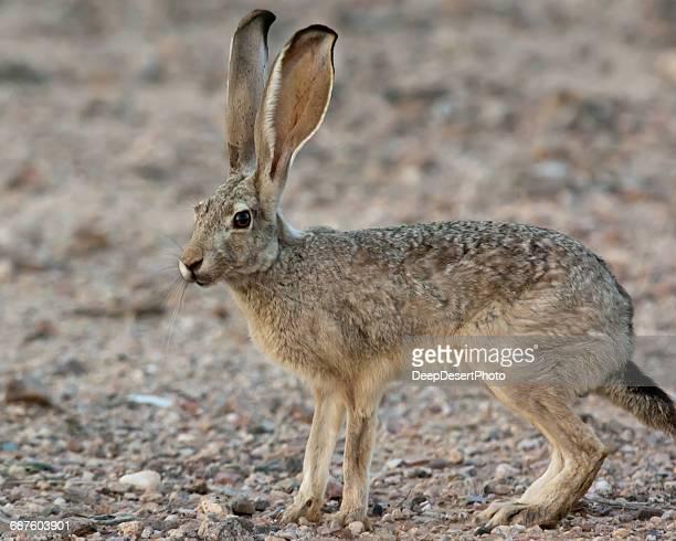 Jack Rabbit Usa >> Jackrabbit Premium Pictures Photos Images Getty Images