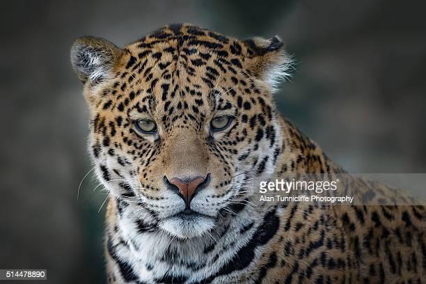 Portrait of a Jaguar