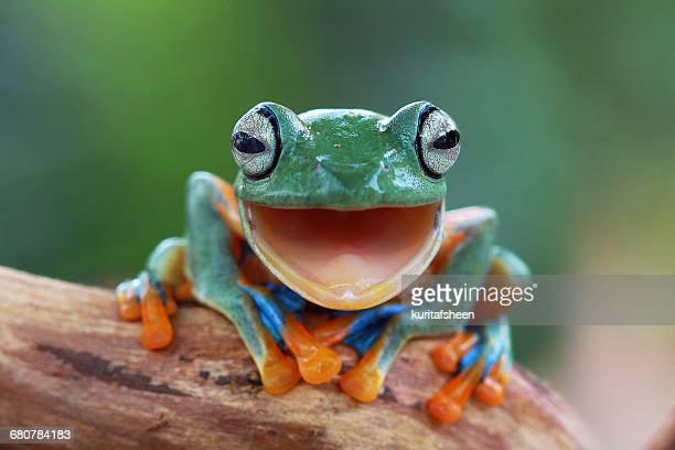 portrait of a javan gliding tree frog with mouth open, indonesia - frog stock pictures, royalty-free photos & images