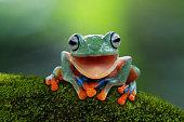 Portrait of a Javan tree frog