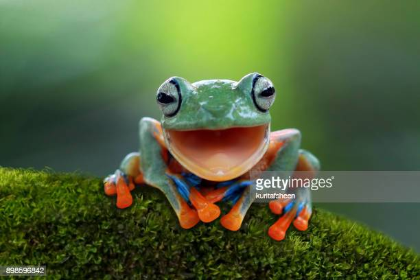 portrait of a javan tree frog - funny animals stock pictures, royalty-free photos & images