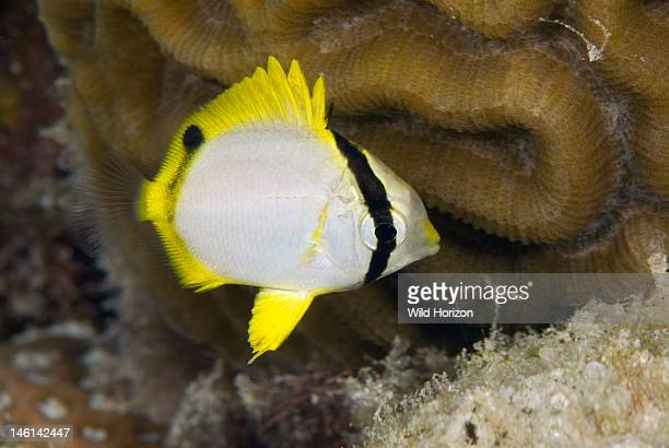 Portrait of a juvenile spotfin butterflyfish Curacao Netherlands Antilles