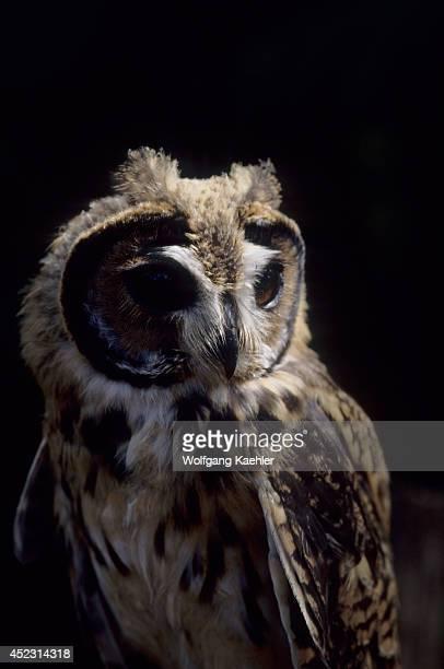 Portrait of a juvenile Striped owl in the Amazon Basin of Ecuadorian rainforest along the Rio Napo Ecuador