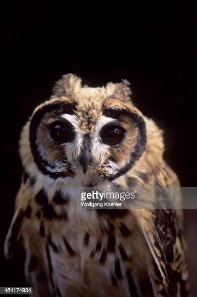 Portrait of a juvenile Striped owl in theAmazon Basin of Ecuadorian rainforest along the Rio Napo Ecuador