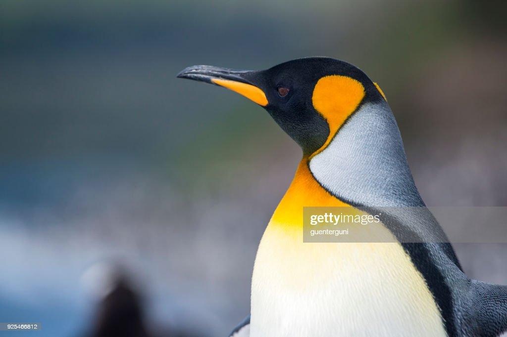 Portrait of a King penguin, Tierra del Fuego, Patagonia : Stock Photo