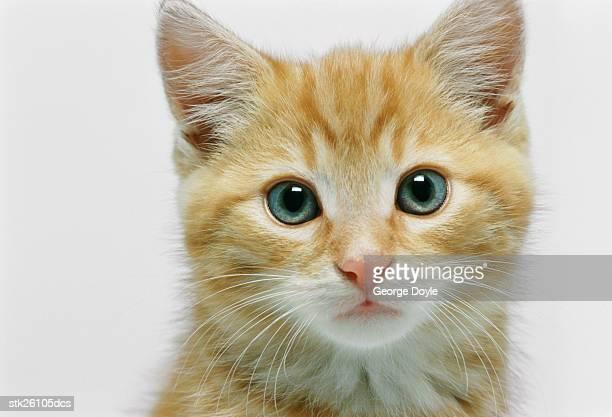 portrait of a kittens face
