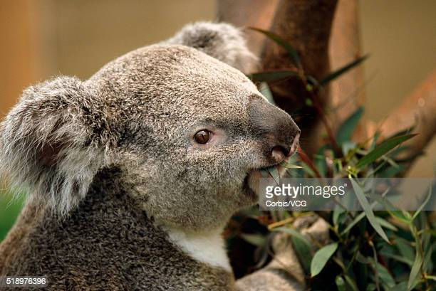 Portrait of a Koala, (Phascolarctus cinereus), eating some Eucalyptus