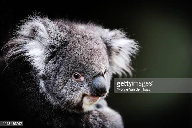 portrait of a koala - koala stock-fotos und bilder