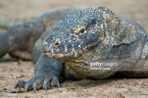 Portrait of a Komodo dragon on Komodo Island, part of Komodo National Park, Indonesia.