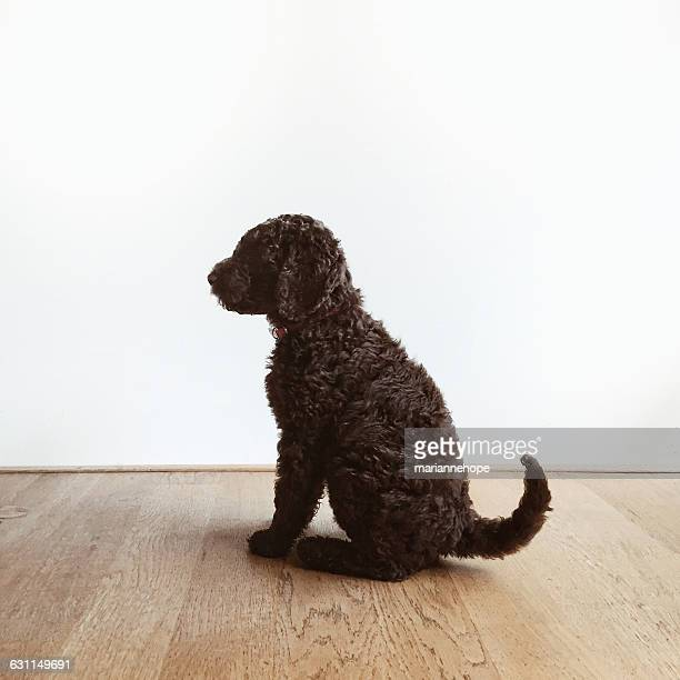 portrait of a labradoodle puppy dog - labradoodle stock photos and pictures