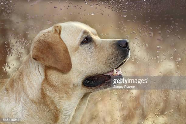 Portrait of a Labrador Retriever