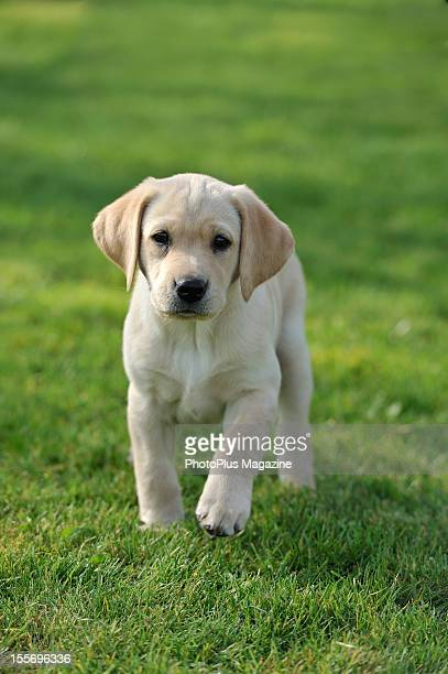 Portrait of a Labrador Retriever puppy frolicking on a sunny Spring day taken on March 29 2012