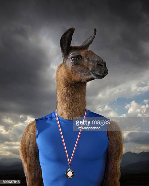 Portrait of a Lama dressed as an athelete