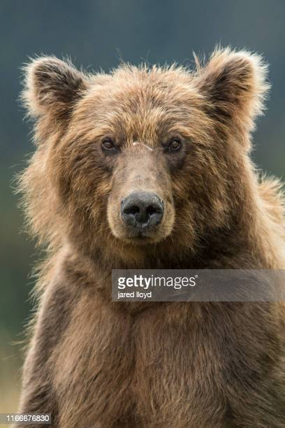 portrait of a large alaskan brown bear - bear stock pictures, royalty-free photos & images