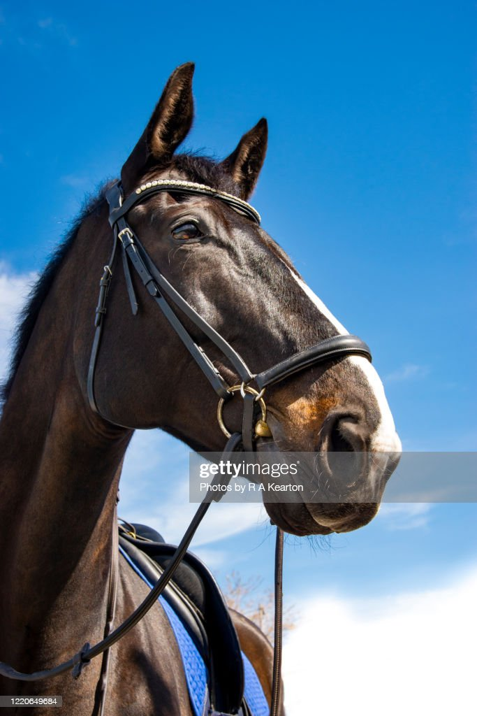 Portrait Of A Large Dark Bay Horse High Res Stock Photo Getty Images