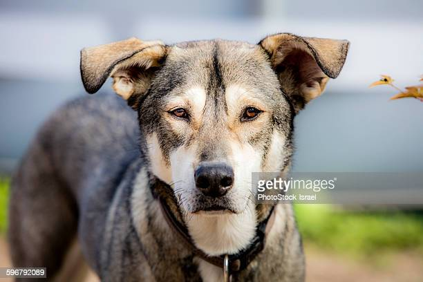 Portrait of a large, mature grey dog