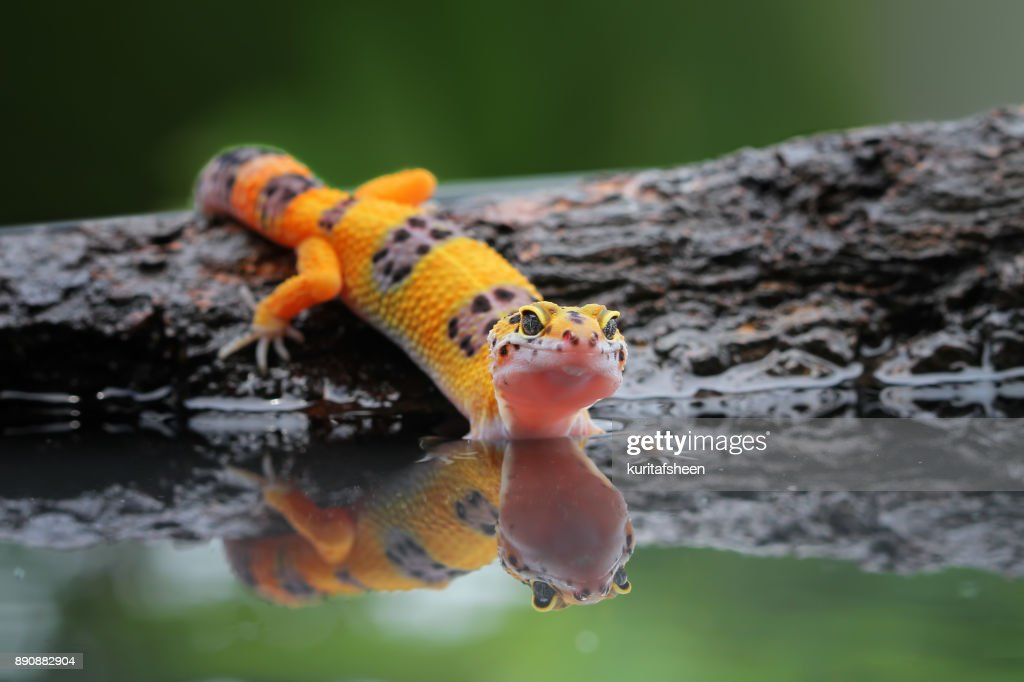 Portrait Of A Leopard Gecko By Water Stock Photo
