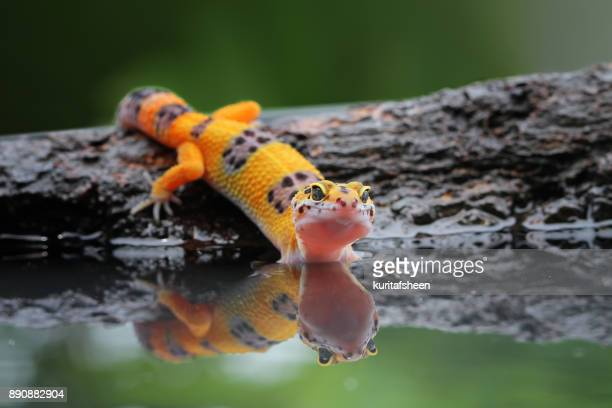 portrait of a leopard gecko by water - geco foto e immagini stock