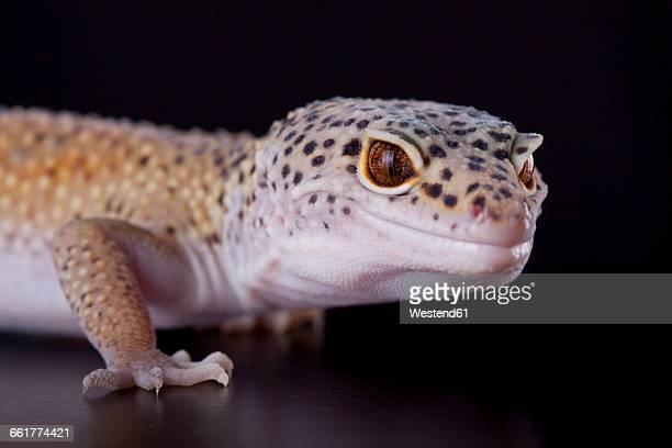 Portrait of a leopard gecko