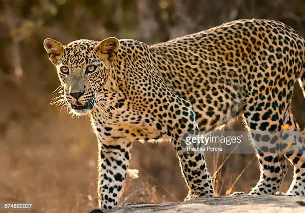 portrait of a leopard (panthera pardus) - leopard stock photos and pictures