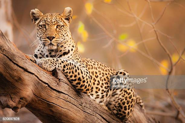 a portrait of a leopard resting in a tree - moremi wildlife reserve stock photos and pictures