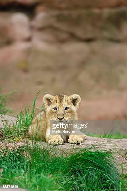 portrait of a lion cub - lion cub stock pictures, royalty-free photos & images