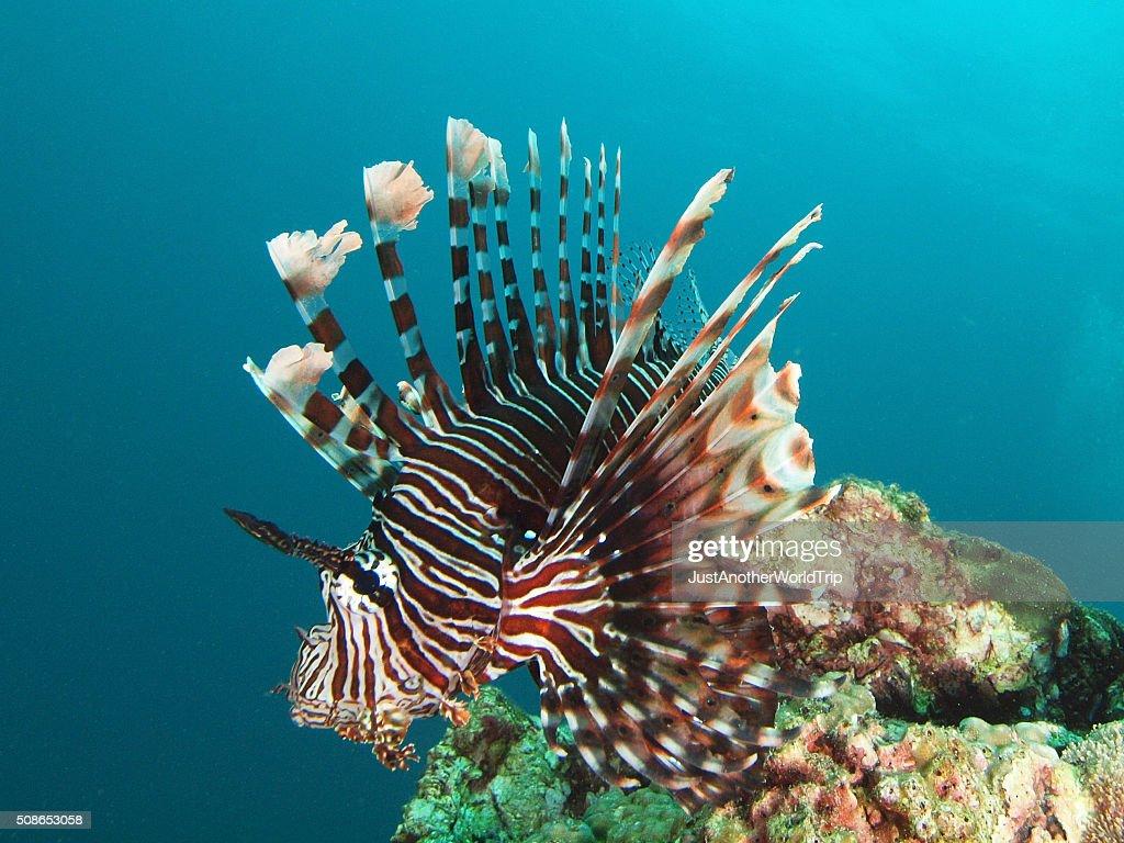 portrait of a Lion fish : Stock Photo
