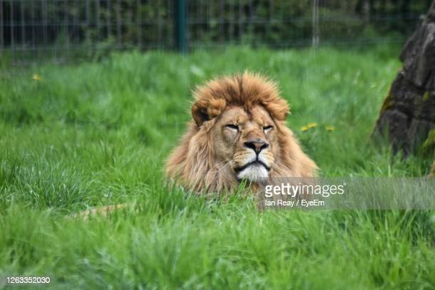 portrait of a lion in a field - blackpool stock pictures, royalty-free photos & images