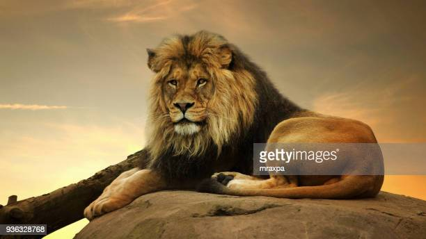 portrait of a lion on a rock - lion stockfoto's en -beelden