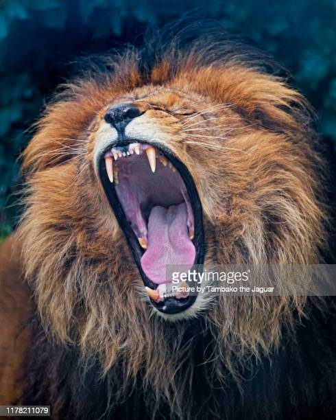 portrait of a lion widely yawning - one animal stock pictures, royalty-free photos & images