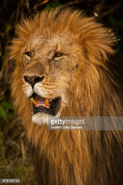 Portrait of a lion with its mouth open