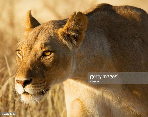 Portrait of a lioness hunting, Africa