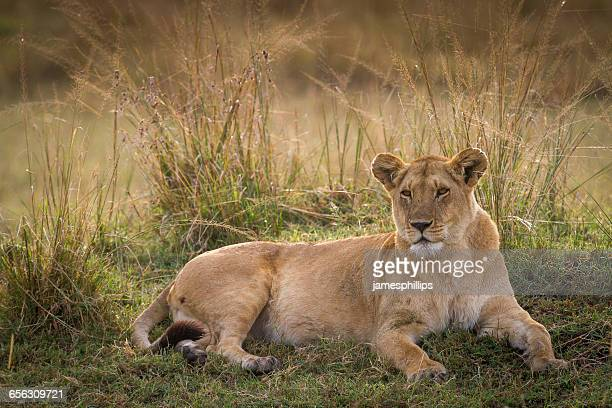 Portrait of a lioness, Kenya