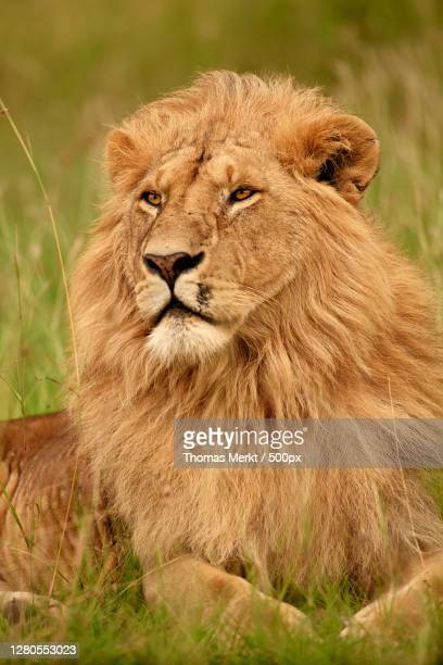 portrait of a lion,sekenani,kenya - afrika afrika stock pictures, royalty-free photos & images