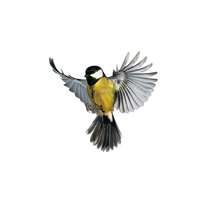 portrait of a little bird tit flying wide spread wings and flushing feathers on white isolated background 926144358