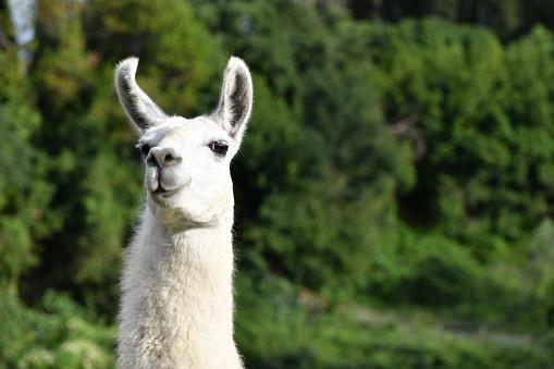 Portrait of a Llama 1053121216