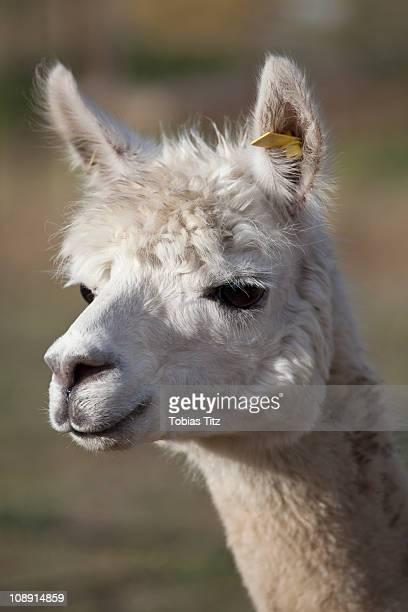Portrait of a Llama