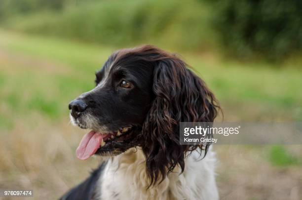 portrait of a loyal companion - springer spaniel stock pictures, royalty-free photos & images