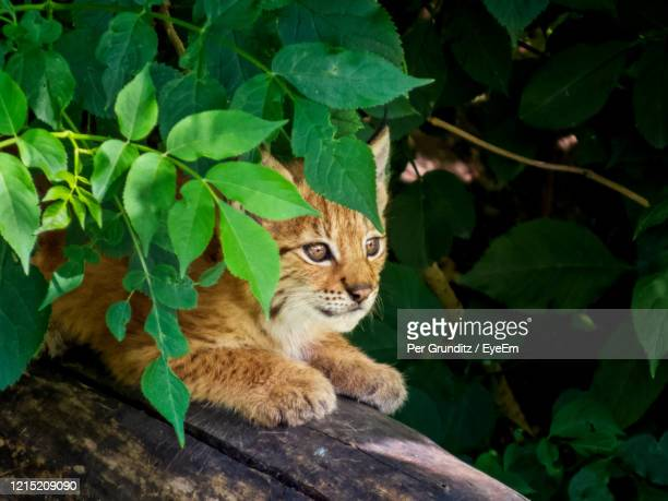 portrait of a lynx cub - kitten stock pictures, royalty-free photos & images