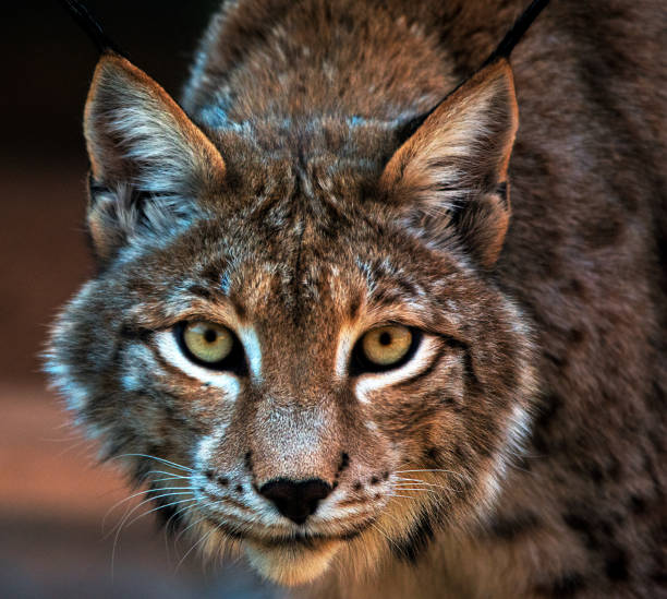 Portrait of a lynx, South Africa