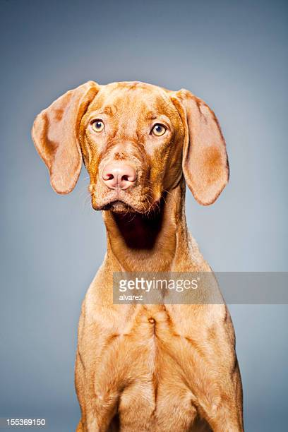 Porträt von einem Hund ungarischen Vizsla