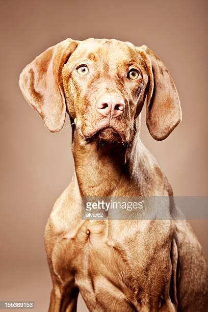 Retrato de um cão Magyar Vizsla