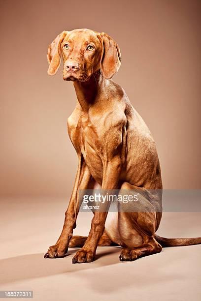 Portrait of a Magyar Vizsla Dog