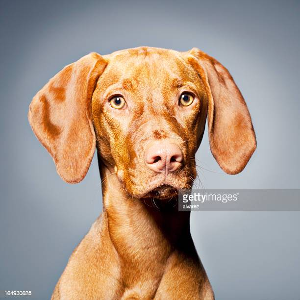 1 556 Vizsla Bilder Und Fotos Getty Images