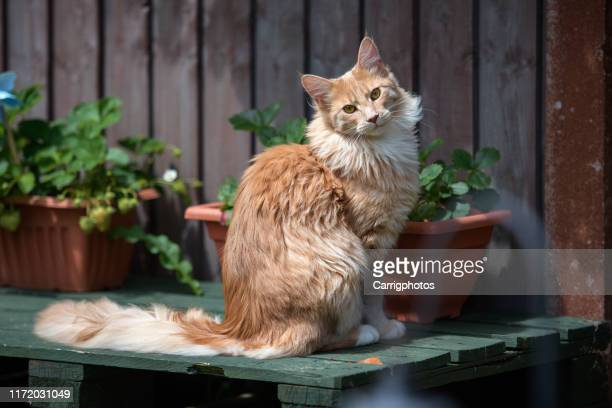 portrait of a maine coon cat sitting in a garden - maine coon cat stock pictures, royalty-free photos & images